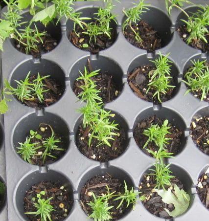 Как сеять флоксы на рассаду в домашних условиях 71
