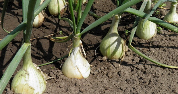 Когда сажать лук весной лучше 61
