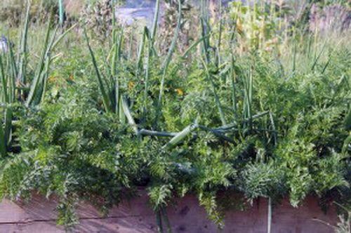 смешанные посадки моркови с луком