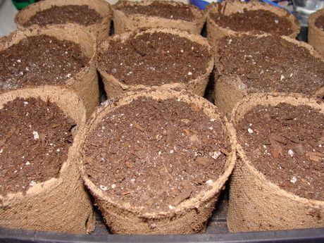 стаканы с почвой для рассады огурцов