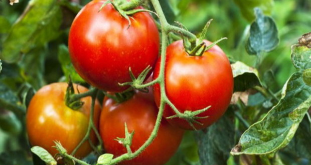 yrozhai pomidorov