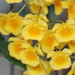 Dendrobiumaggregatum