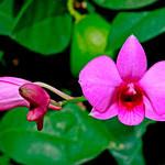 Dendrobiumbiggibum