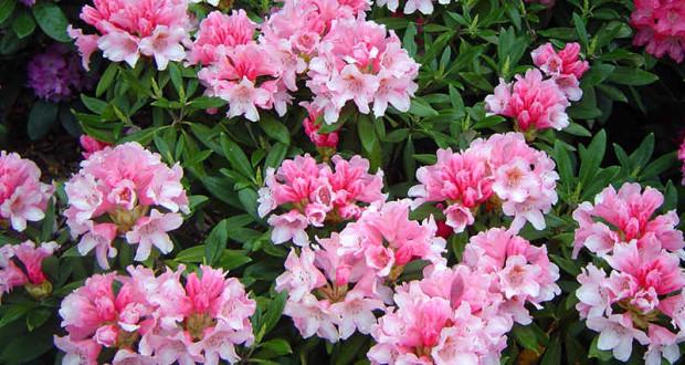 rododendron posadka i uhod