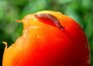 slizni na pomidorah