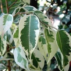 ficus bendjamina variegata
