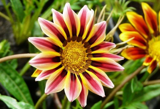 Гарциния уход и выращивание