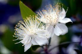 Мирт звичайний квітка