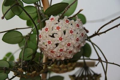 цветение плющ восковой Хойя мужегон