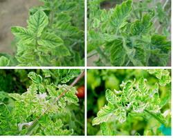 skruchivautsya listya pomidor