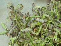 u pomidor skruchivautsya listya