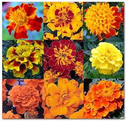 cvety barhatcev