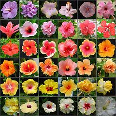 gibiskus sadovyj cvety