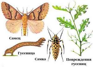 pyadenica