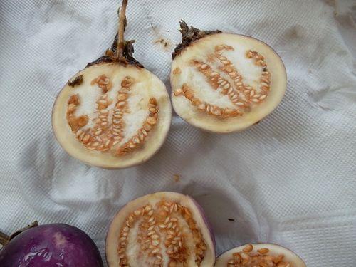 сбор семян баклажанов