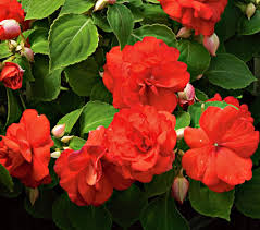 cvety domashnie s krasnymi cvetami foto