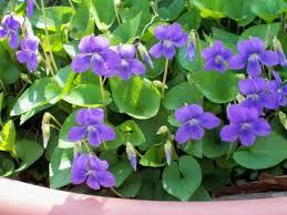 cvety tenelubivye dlya sada odnoletnie