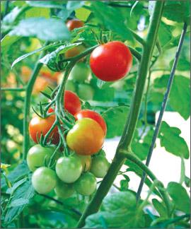 luchshie sorta i gibridy tomatov dlya teplicy