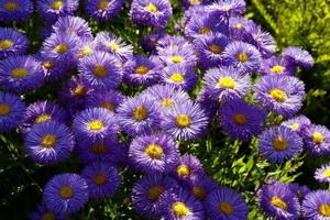 mnogoletnie cvety dlya klumby opisanie foto (2)