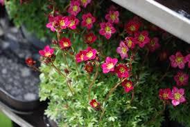 mnogoletnie cvety dlya klumby opisanie foto