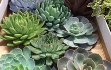 succulentnye cvety domashnie foto i nazvaniya