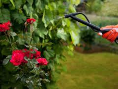 uxod za sadovymi rozami