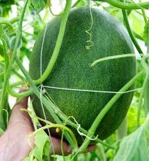 vyrashivanie arbuzov i dyni v teplice