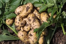 chto takoe okuchivanie kartofelya