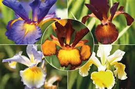 irisy - posadka i uxod sorta irisov foto