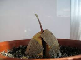 kak vyrastit avokado iz kostochki
