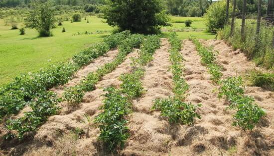 Выращивание картофеля с умом без прополки и окучивания 81