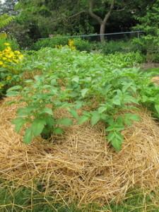 kak vyrastit kartofel bez okuchivaniya