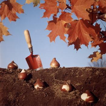 kogda vykapyvat lukovicy gladiolusov osenju