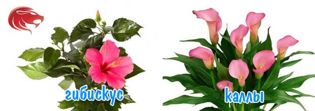 lev-cveti