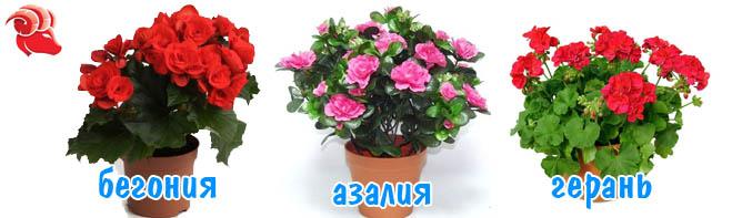 цветы для овна