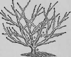 pravilnaya obrezka dereviev abrikosa slivy vishni