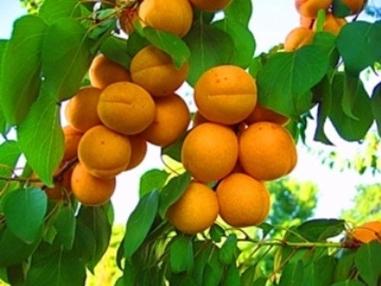 абрикос сорт Россиянин