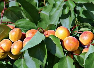 абрикос сорт лель