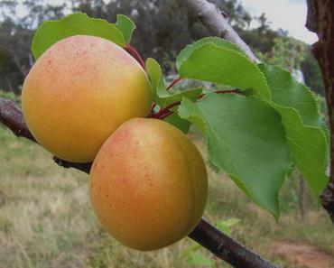 абрикос сорт медовый