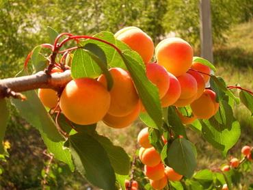 абрикос сорт выносливый