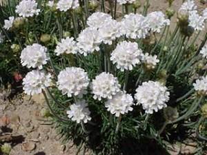 армерия белая Альба