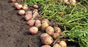 болезни картофеля наименование, фото