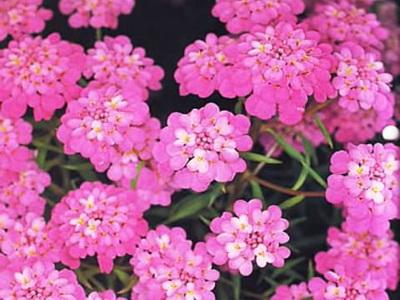 иберис розовый