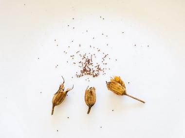 душистый табак семена
