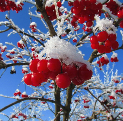 ягода калина красная