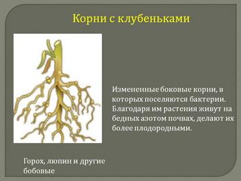 клубеньки на корнях