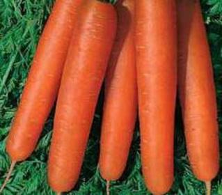 сорт моркови нандрин