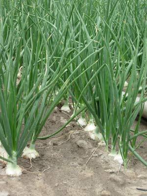 минеральные и органические удобрения для лука
