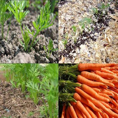 мульчирование моркови