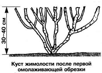 обрезка жимолости съедобной
